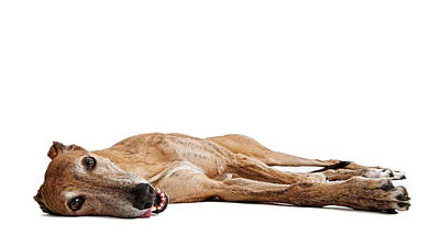 Greyhound Photograph - Greyhound Dog Laying Down by Susan  Schmitz