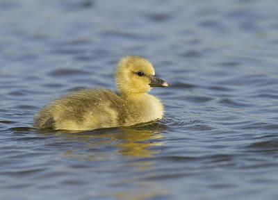 Zeeland Photograph - Greylag Goose Gosling Zeeland by Sytze Jongma