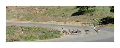 Gridlock Photograph -  Canadian Geese Marching Grid Lock by Jack Pumphrey