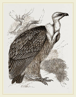 Vulture Drawing - Griffon-vulture by Litz Collection