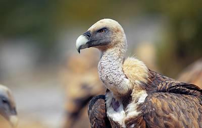 Griffon Photograph - Griffon Vulture by Nicolas Reusens