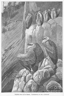 Griffon Digital Art - Griffon Vultures by C von Dombrowski