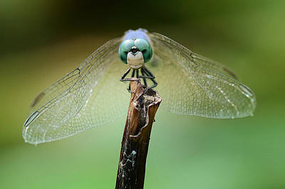 Macro Dragonfly Photograph - Grin And Bare It by Fraida Gutovich