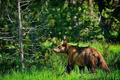 Wildlife Photograph - Grizzly Bear 760 by Greg Norrell