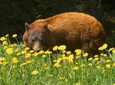 Grizzly Bear Eating Dandelions Near Road Through Kottenay Np-bc  Original by Ruth Hager
