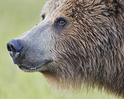 Grizzly Bear Lake Clark Np Alaska Print by Richard Garvey-Williams