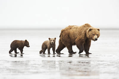 Grizzly Bear Mother And Cubs Lake Clark Print by Richard Garvey-Williams