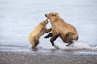 Grizzly Bear Mother Playing Print by Richard Garvey-Williams