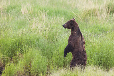 Bear Photograph - Grizzly Bear Ursus Arctos Standing by Lucas Payne