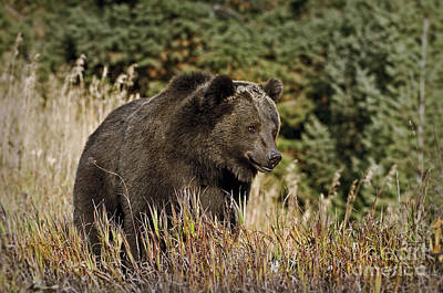 Bear Photograph - Grizzly-bear-animals-image 9 by Wildlife Fine Art