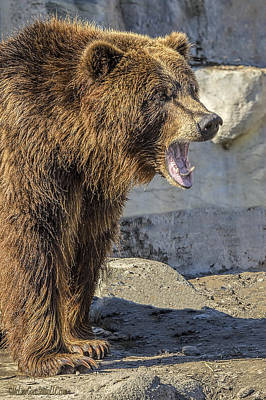 Chicago Photograph - Grizzly Bear Yell     by LeeAnn McLaneGoetz McLaneGoetzStudioLLCcom