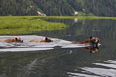 Grizzly Bears Swimming Print by M. Watson