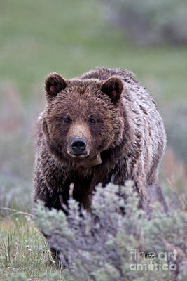 Bear Photograph - Grizzly Mama 3 by Natural Focal Point Photography
