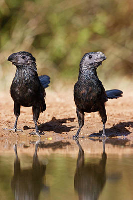 Groove-billed Ani (crotophaga Print by Larry Ditto
