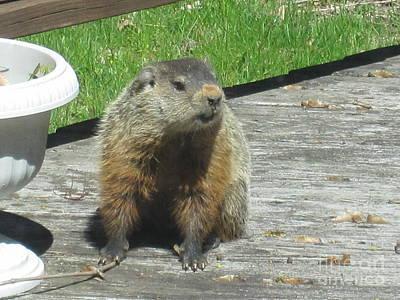 Groundhog Drawing - Groundhog Holding A Stick by Tara  Shalton