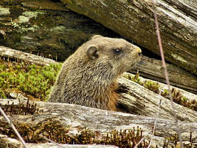 Groundhog Posing Original by Gene Cyr