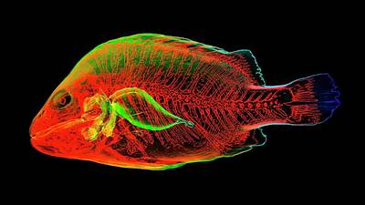 Reconstructed Photograph - Grouper Anatomy by K H Fung