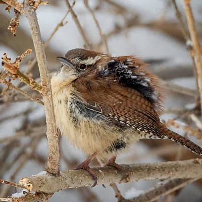 Wren Photograph - Grumpy Bird Square by Bill Wakeley