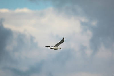 Larus Delawarensis Photograph - Gull Over Paris Landing by Jai Johnson