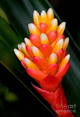 Epiphyte Photograph - Guzmania Musaica by Millard H. Sharp