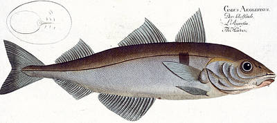 Angling Drawing - Haddock by Andreas Ludwig Kruger