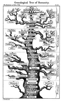 Haeckel's Scheme Of Evolution Print by Universal History Archive/uig