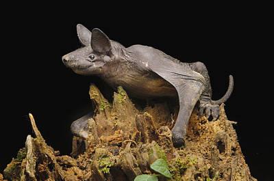Photograph - Hairless Bat Tibu Batang Ai Np Malaysia by Ch'ien Lee