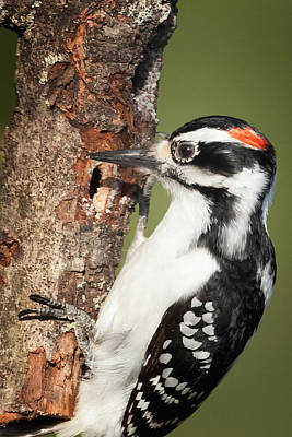 Hairy Woodpecker Photograph - Hairy Woodpecker by Bill Wakeley