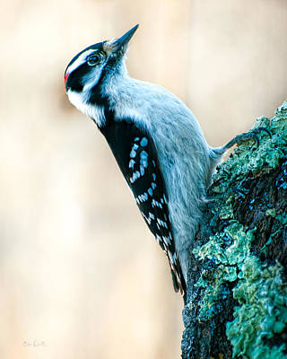 Woodpecker Photograph - Hairy Woodpecker by Bob Orsillo