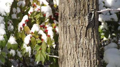 Woodpecker Mixed Media - Hairy Woodpecker by Don Koester
