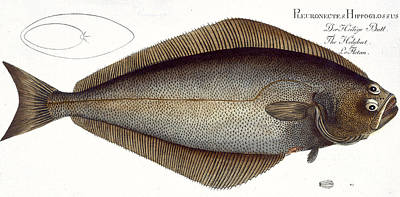 Angling Drawing - Halibut by Andreas Ludwig Kruger
