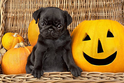 Halloween Pug Print by Greg Cuddiford