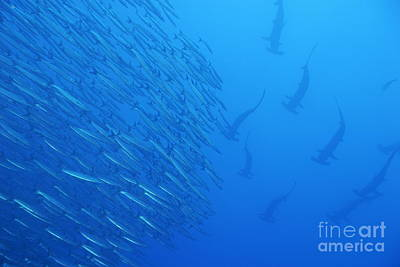 Hammerhead Sharks By School Of Fishes Print by Sami Sarkis