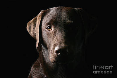 Handsome Chocolate Labrador Print by Justin Paget