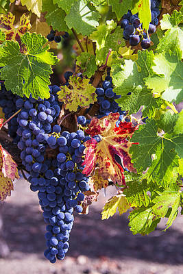Winery Photograph - Hanging Grapes by Garry Gay