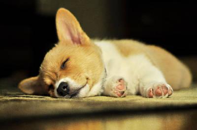 Happiness Is A Warm Corgi Puppy Print by Rebecca Sherman
