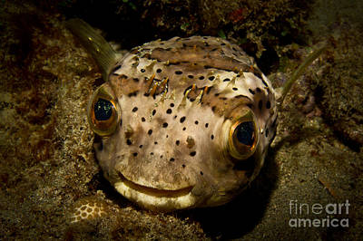 Porcupine Fish Photograph - Happy Fish by Craig Dietrich