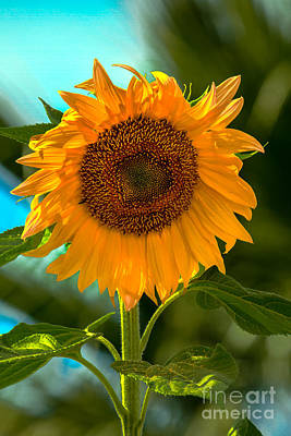 Happy Sunflower Print by Robert Bales