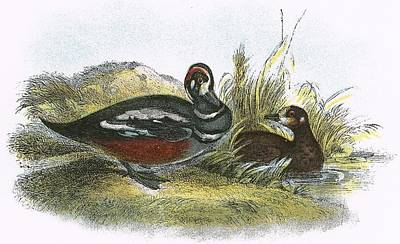 Web Drawing - Harlequin Duck by English School