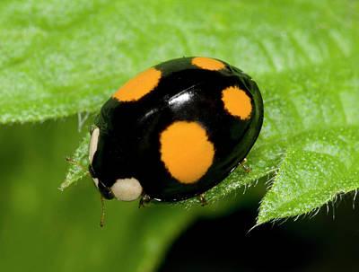Striking Photograph - Harlequin Ladybird Spectabilis Form by Nigel Downer