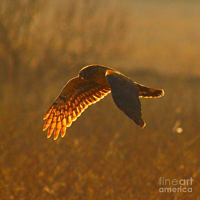 Northern Harrier Photograph - Harrier In Autumn Morining by Robert Frederick