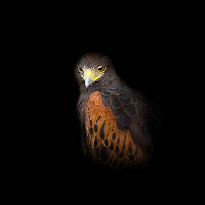 Hawk Photograph - Harris Hawk by Bill Wakeley