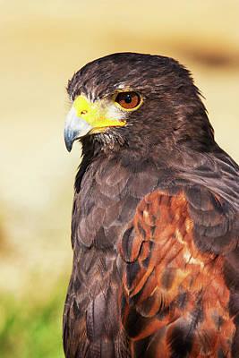 Red-shouldered Hawk Photograph - Harris Hawk (parabuteo Unicinctus by Piperanne Worcester