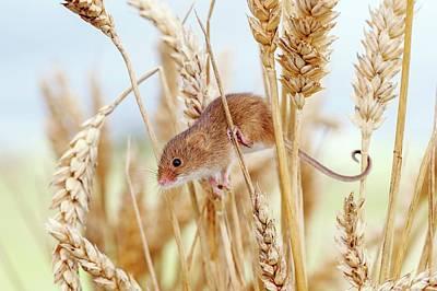 Monocot Photograph - Harvest Mouse On Wheat by John Devries