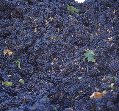 Harvested Cabernet Sauvignon Grapes Print by Panoramic Images