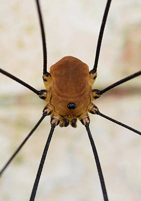 Harvestman Print by Nigel Downer