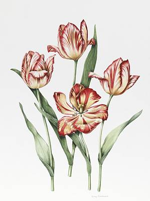 Variegated Painting - Hatfield Tulip by Sally Crosthwaite