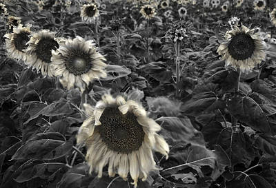 Sunflower Photograph - Haunting Sunflower Fields 2 by Dave Dilli