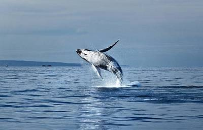 Rare Moments Photograph - Hawaii Whale Breach by Pasha Reshikov