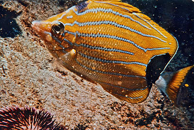 Hawaiian Butterfly Fish Original by Bill Owen